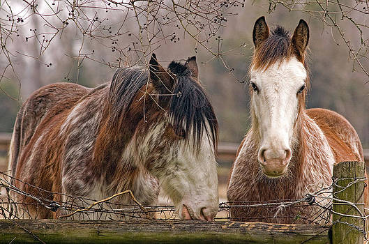 Clydesdale Horses by Hazel Billingsley