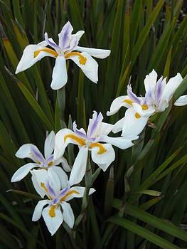 Coastal Iris by Stephanie Archuleta
