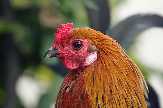 Cock by Falko Follert