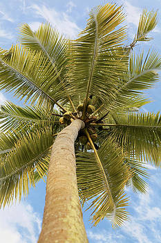 Kantilal Patel - Coconut Tree with halo of Cirrus