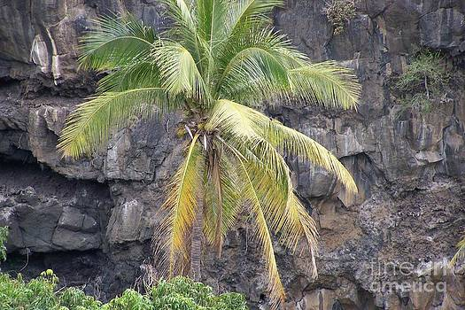 Cocotier - Coconuts - Ile De La Reunion by Francoise Leandre