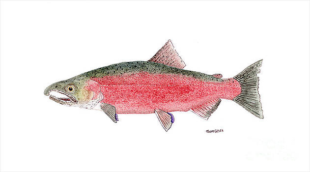 Coho or Silver Salmon in Spawning Colors by Thom Glace