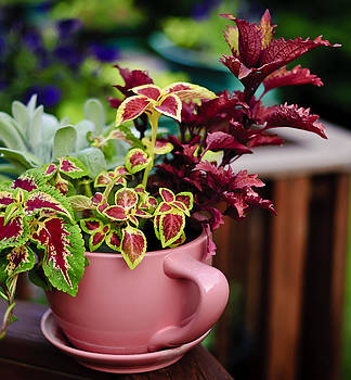 Coleus Collection by Michael Putnam
