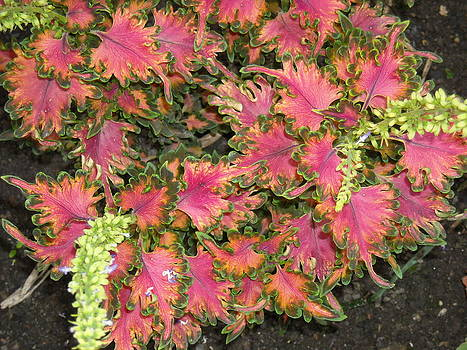 Coleus Pink Leaves by Liliana Ducoure