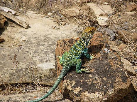 Collared Lizard by Feva  Fotos