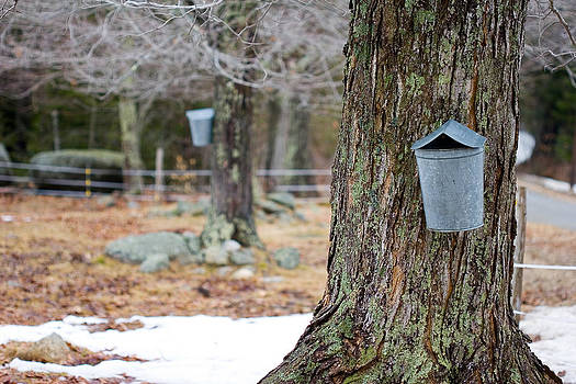Collecting Sugar Sap by Kevin Kratka