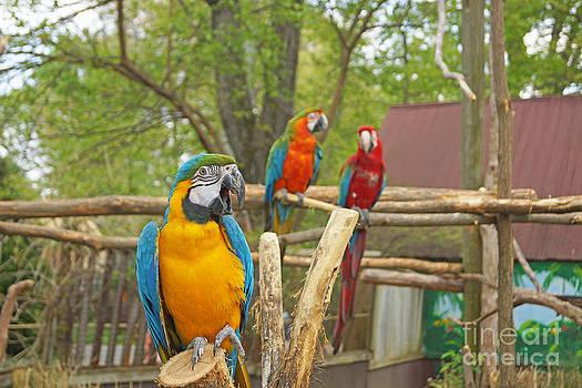 Color of Parrots  by J Jaiam