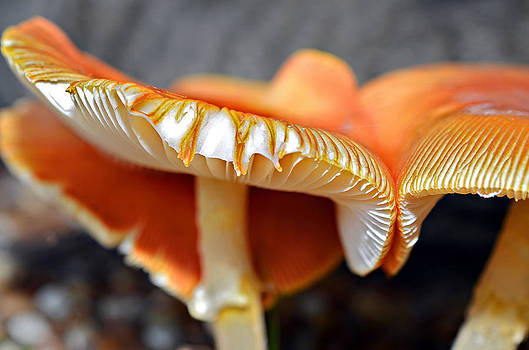 Colorful Mushrooms by Susan Leggett