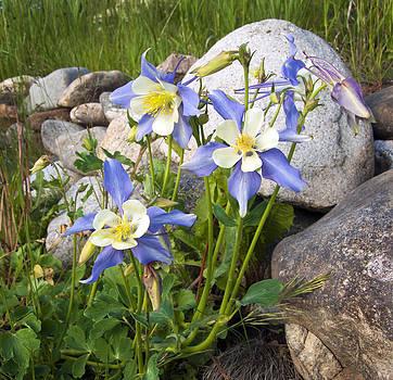 James Steele - Columbine Colorado State Flower