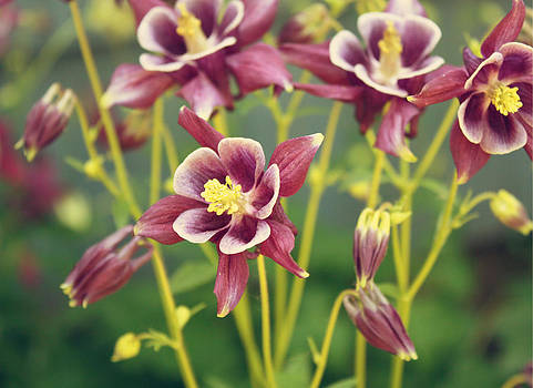 Columbine Flowers by Cathie Tyler