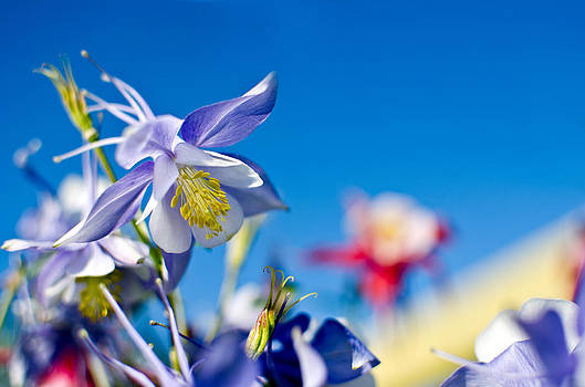Columbine  by Kelly Anderson