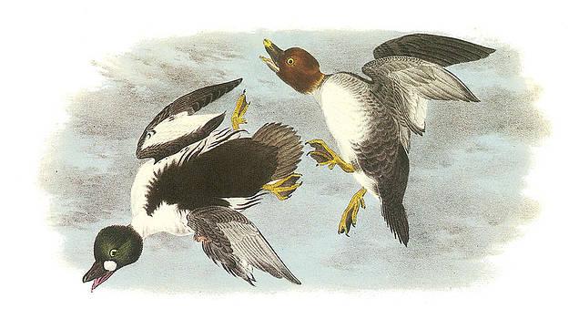 John James Audubon - Common Goldeneye