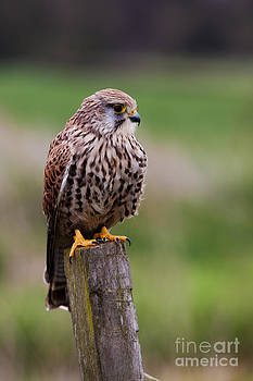 Common Kestrel by Pete Reynolds