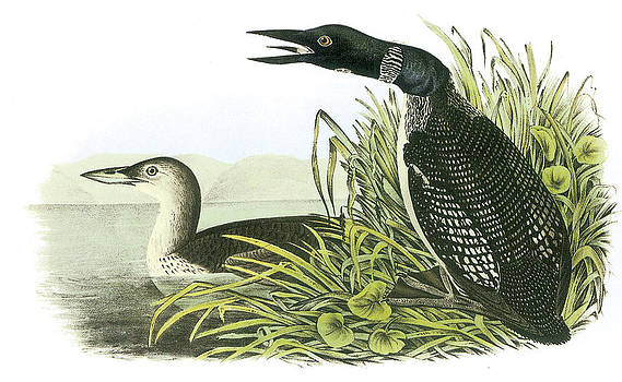 John James Audubon - Common Loon