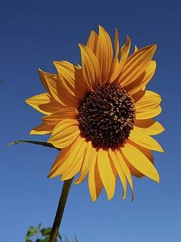 Don Kreuter - Common Sunflower