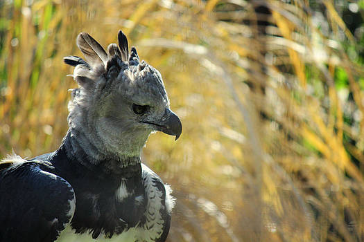 Concentration of the Harpy Eagle by Lindy Spencer