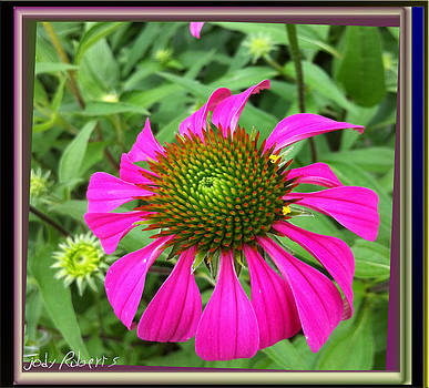 Cone flower by Jody Roberts