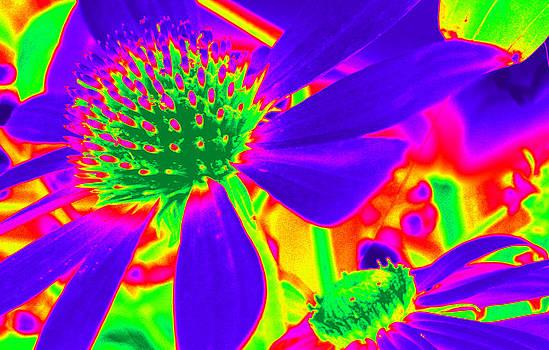 Cone Flowers Gone Wild  by Kim Galluzzo Wozniak