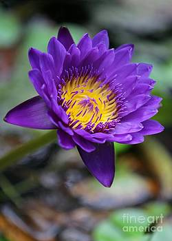 Sabrina L Ryan - Confident Purple Water Lily