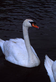 Cool Swan by Bob Whitt