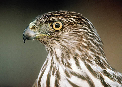 Cooper's Hawk by Doug Herr