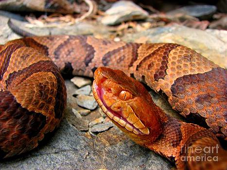 Copperhead by Dave Fitzpatrick
