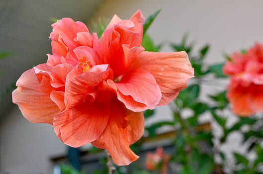 Coral Hibiscus by Mickey Krause