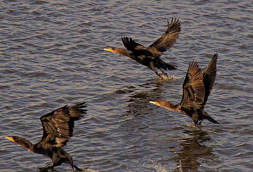 LAWRENCE CHRISTOPHER - Cormorants in Flight 1