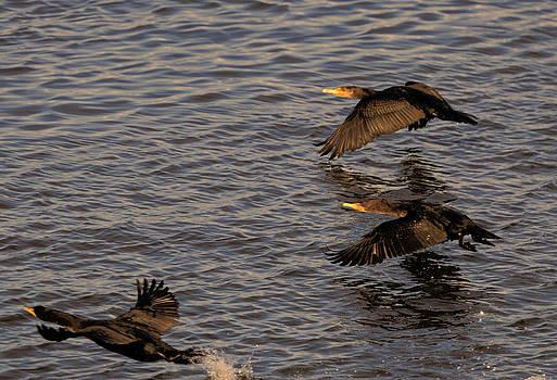 LAWRENCE CHRISTOPHER - Cormorants in Flight 2