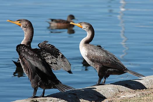 Cormorants by Zsuzsanna Szugyi