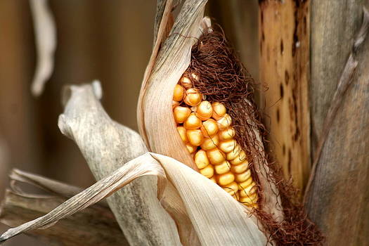 Corn Cob by Carolyn Reinhart