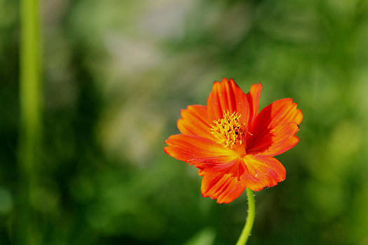 Cosmos Flower by James Hammen