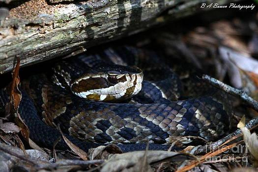 Barbara Bowen - Cotton mouth hiding in Gum Swamp