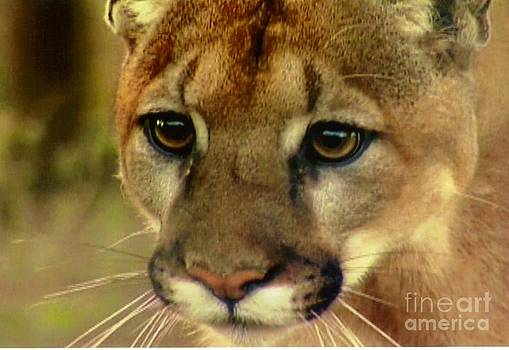 Diane Kurtz - Cougar