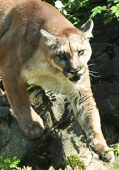 Anne Ferguson - Cougar on the Rocks