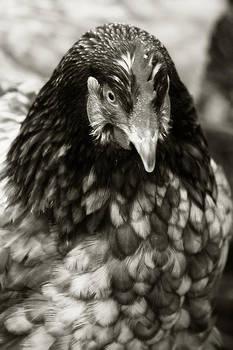 Scott Hovind - Country Chicken 5