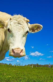 Cow by Christoffer Rathjen