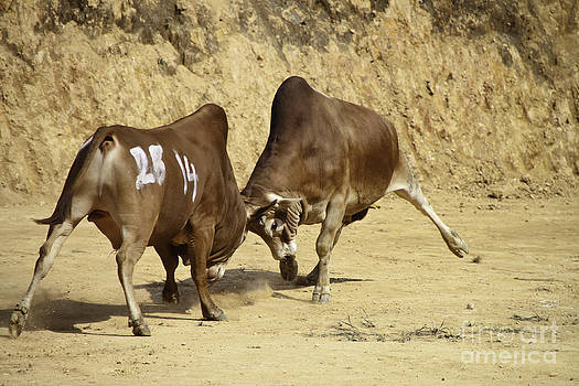Cow Fighting by Thuy Tran