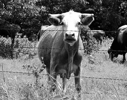 Cow Time by Sharon Farris