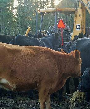 CowsFollowing Their Food by Ami Tirana