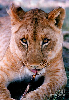 Coy Lion by Serena Bowles