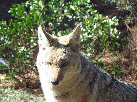 Coyote 1 by Tony and Kristi Middleton