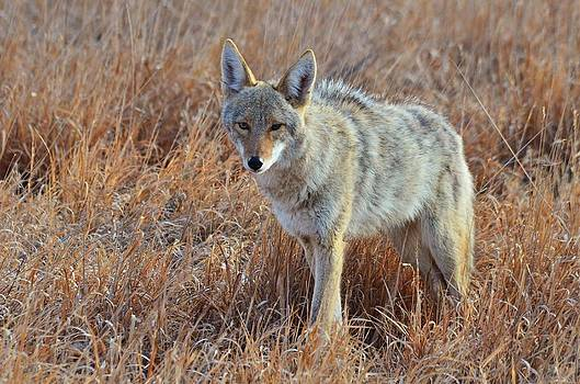 Coyote Curiousity by Mark Fesgen