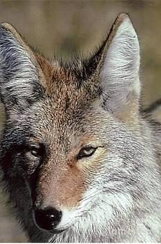 Diane Kurtz - Coyote Portrait