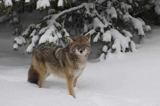 Coyote by Sylvia Hart