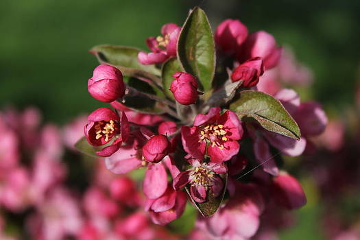 Crab apple blossoms by Ralph Hecht