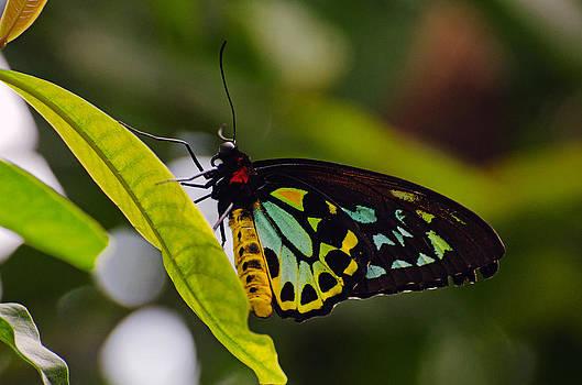 Cracker butterfly by Cheryl Cencich