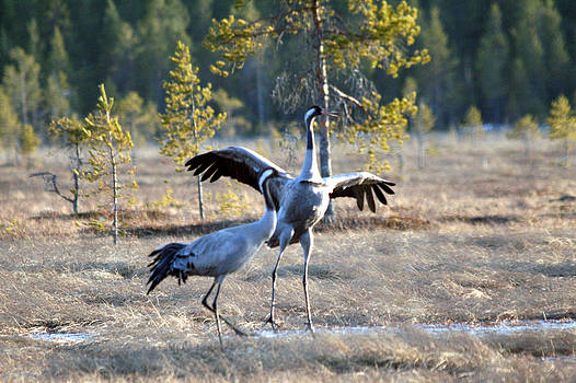Cranes by Holger Persson