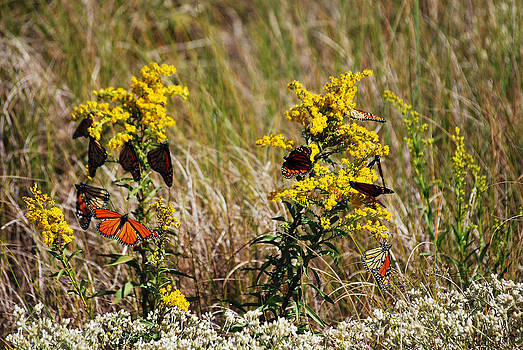 Crazy for Monarchs by Lori Tambakis