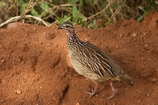 Howard Kennedy - Crested Francolin